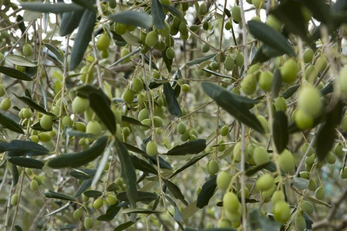 olive_a_dievole_0